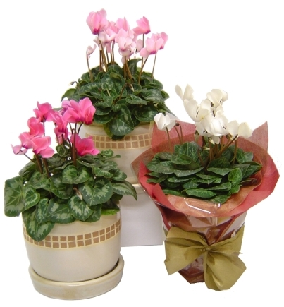 Indoor flowering plants with names - Indoor flowering plants ...
